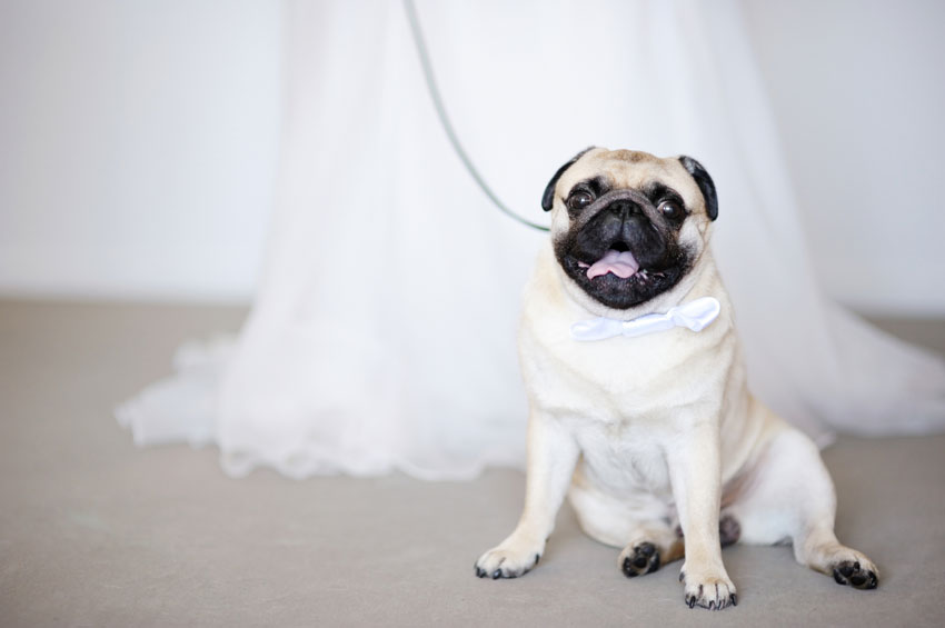 Funny-dog-at-wedding-000024121779_Medium