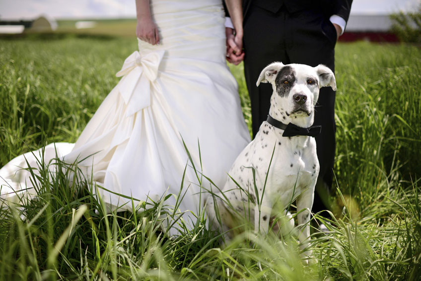 Spotted-dog-attends-a-wedding-as-best-man-000060205034_Medium