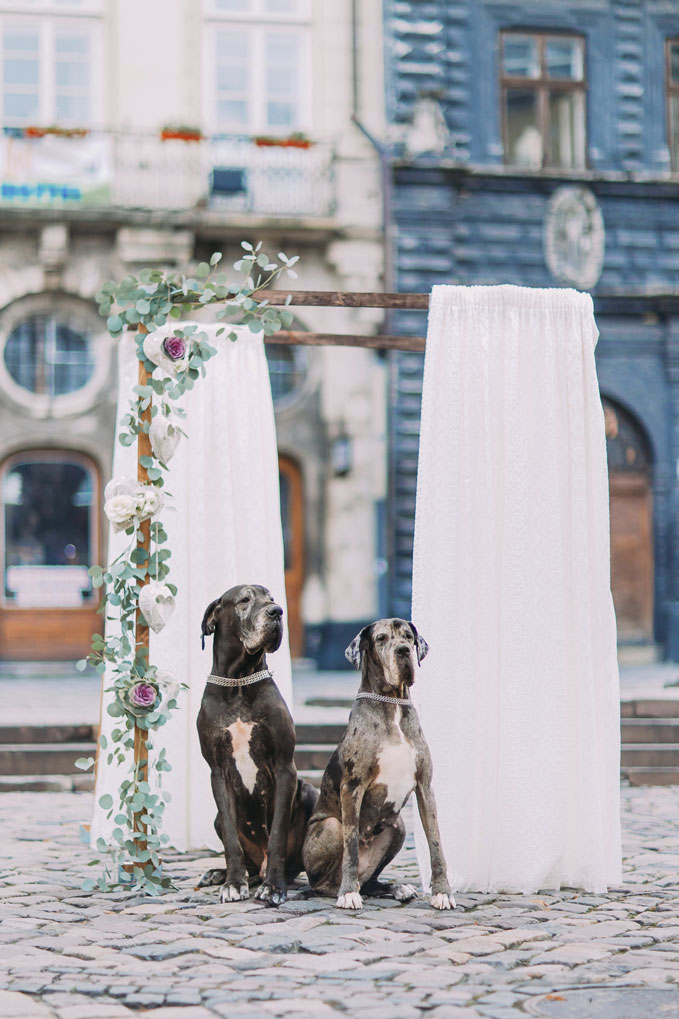 Two-purebred-dogs-near-the-vintage-wedding-arch-in-Lviv-000086744025_Medium